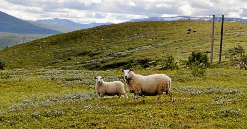 Rundt 60.000 lam og 16.000 sau blir borte på beite årlig. Foto: Hilde Lysengen Havro