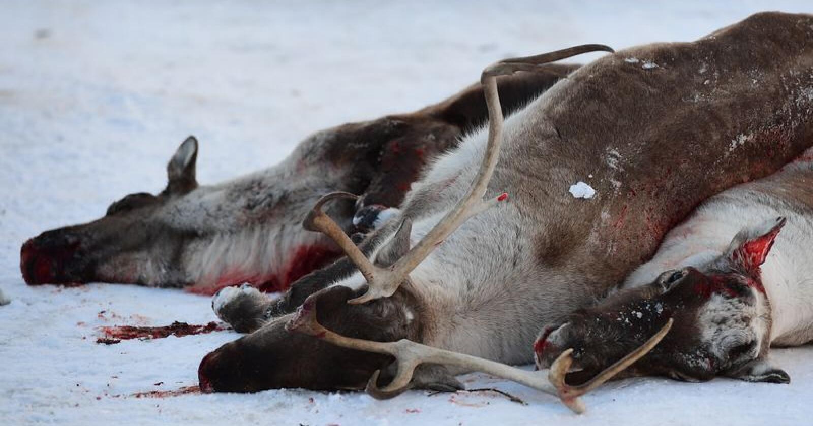 Sykdom: Mattilsynet vil undersøke om villreinstammen på Hardangervidda er smittet med CWD. Dette bildet er fra nedskyting av villreinstammen i Nordfjella. Foto: Marit Hommedal / NTB scanpix