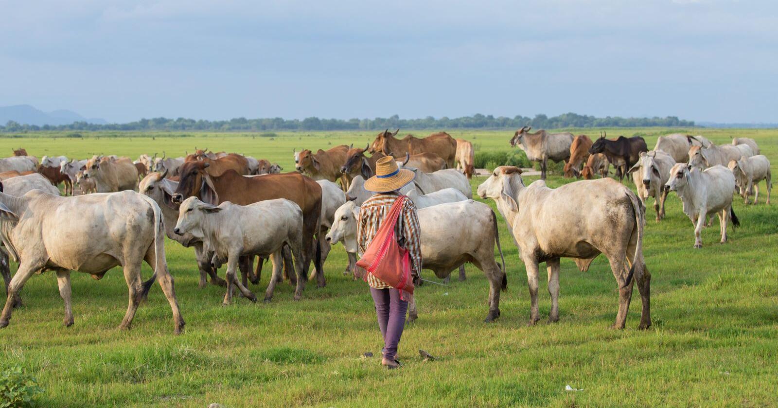 Internasjonal og nasjonal landbrukspolitikk henger tett sammen, skriver innsenderen. Bildet viser en bonde i Asia. Foto: Mostphotos