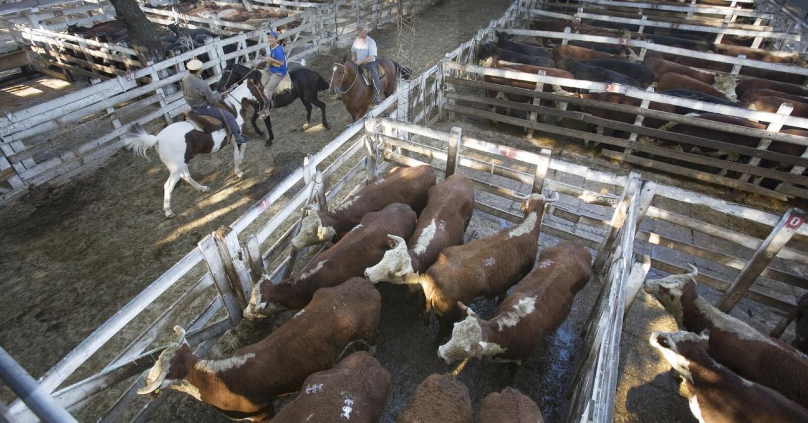 Argentina er en av verdens største produsenter av storfekjøtt.  Korn dyrkes på to tredjedeler av det oppdyrkede arealet. Bildet viser kvegdrift i Argentina. Foto: Jorge Royan/Wikipedia
