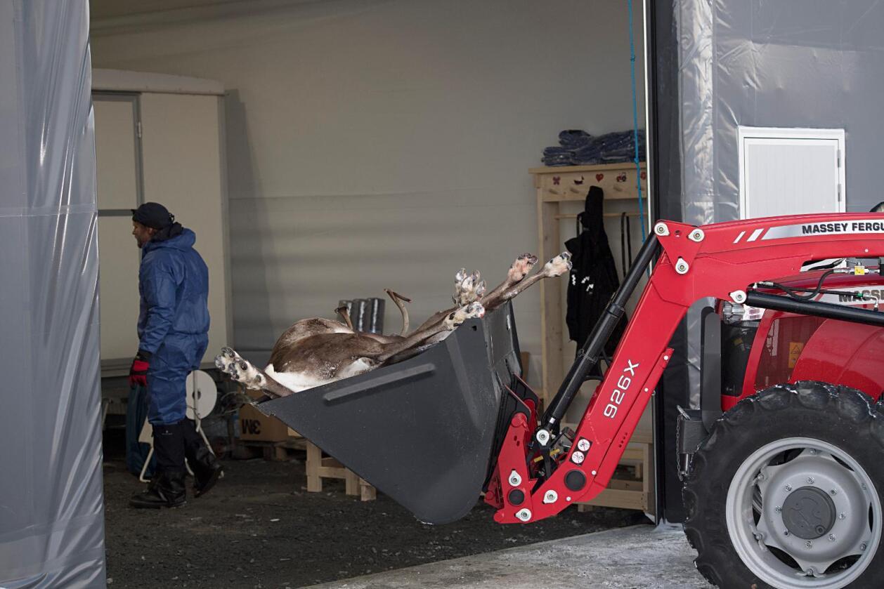 I desse dagar går det føre seg utrydding av villreinstammen i Nordfjella. Reetablering av stammen kan starte opp tidlegast i 2023. Foto: Marit Hommedal / NTB scanpix/ NPK