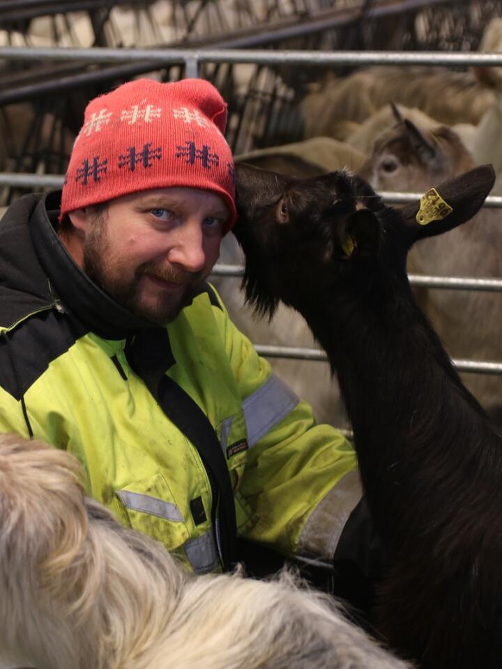 TRAVELT: Etter to relativt rolige månder på slutten av året blir det hektisk utover i januar. Da skal 300 geiter kjee hos Mikal Hestekind.