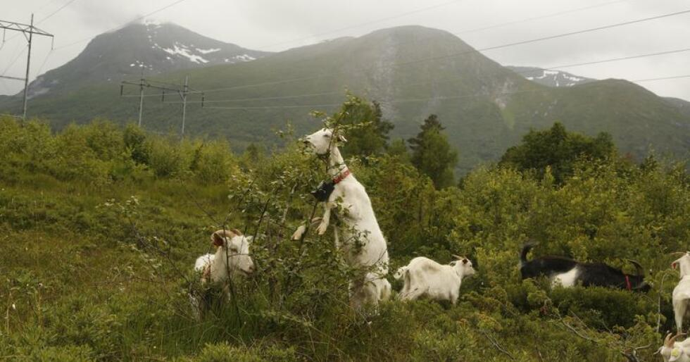 Nofence-klaven er nå godkjent for geit, sau og storfe. Det gjennomføres pilotprosjekter på både sau og storfe i Norge. Bildet er fra Rauma. (Foto: Privat)