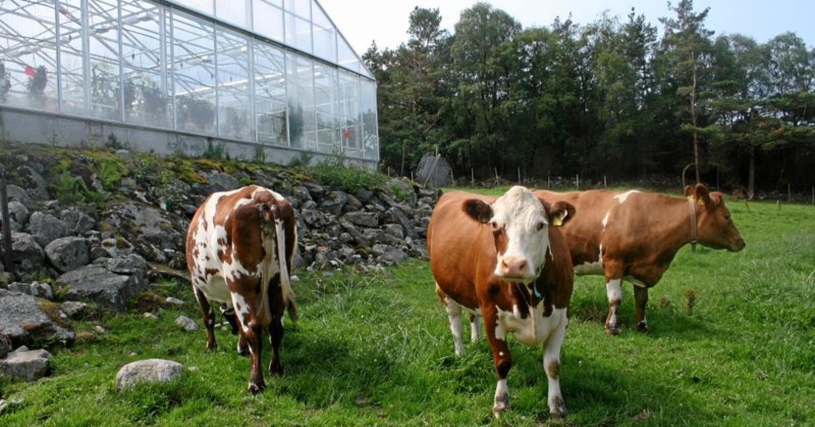 Klimatiltak: Regjeringa vil ha kutt på fem millionar tonn CO2 frå jordbruket og skisserer blant anna ein kraftig nedgang i talet på ammekyr. Her frå Randøy i Ryfylke. Foto: Bjarne Bekkeheien Aase