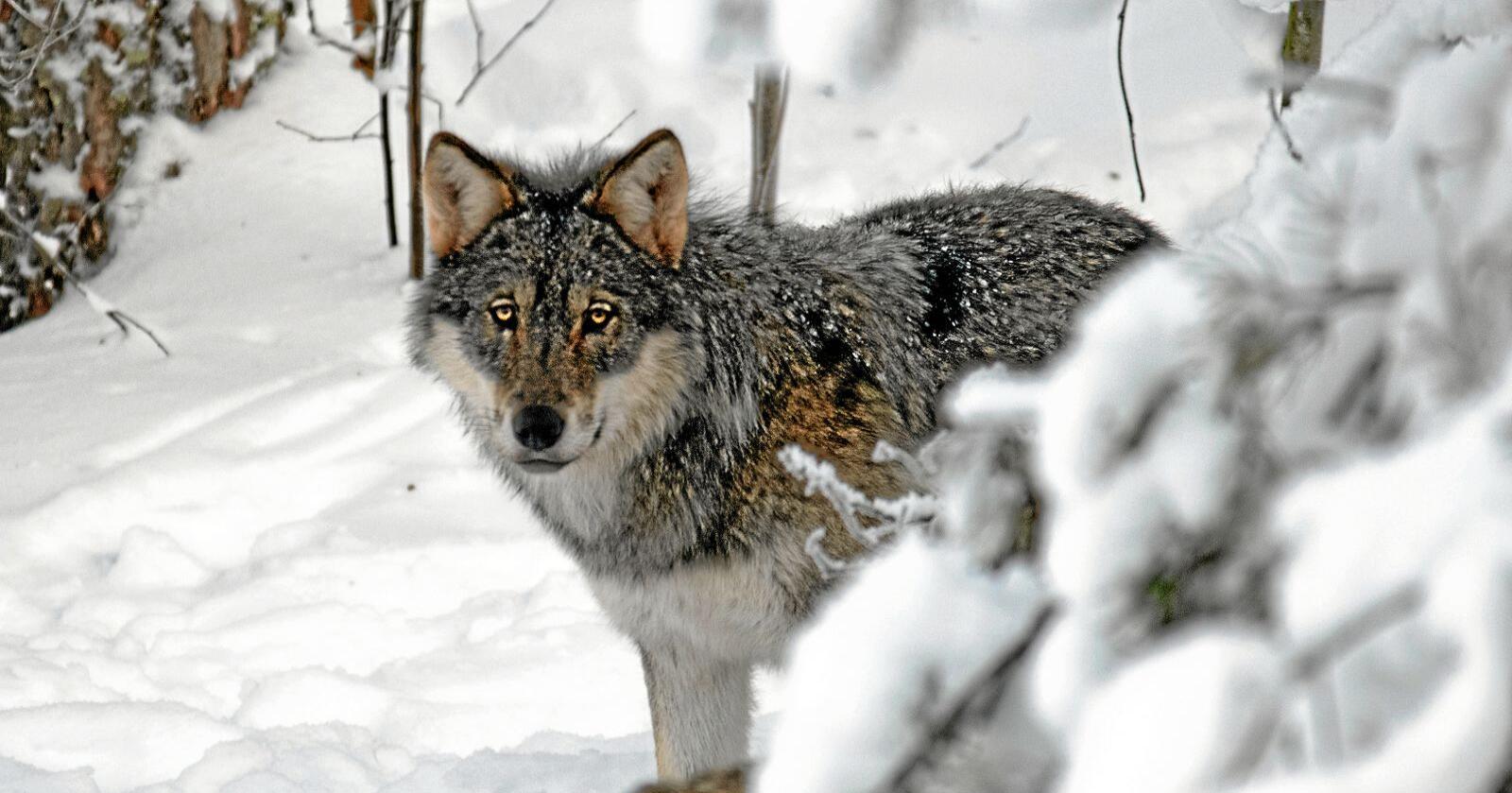 WWF fikk medhold i flere deler saken om ulvejakt. Foto Felix André Skulstad / Mostphotos
