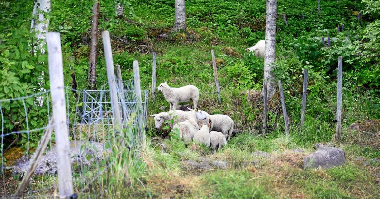 Breking news: Tilgangen på lammekjøtt er ikke fullt så god som den kunne vært i oppkjøringen til fårikålsesongen, melder Nortura. Foto: Siri Juell Rasmussen