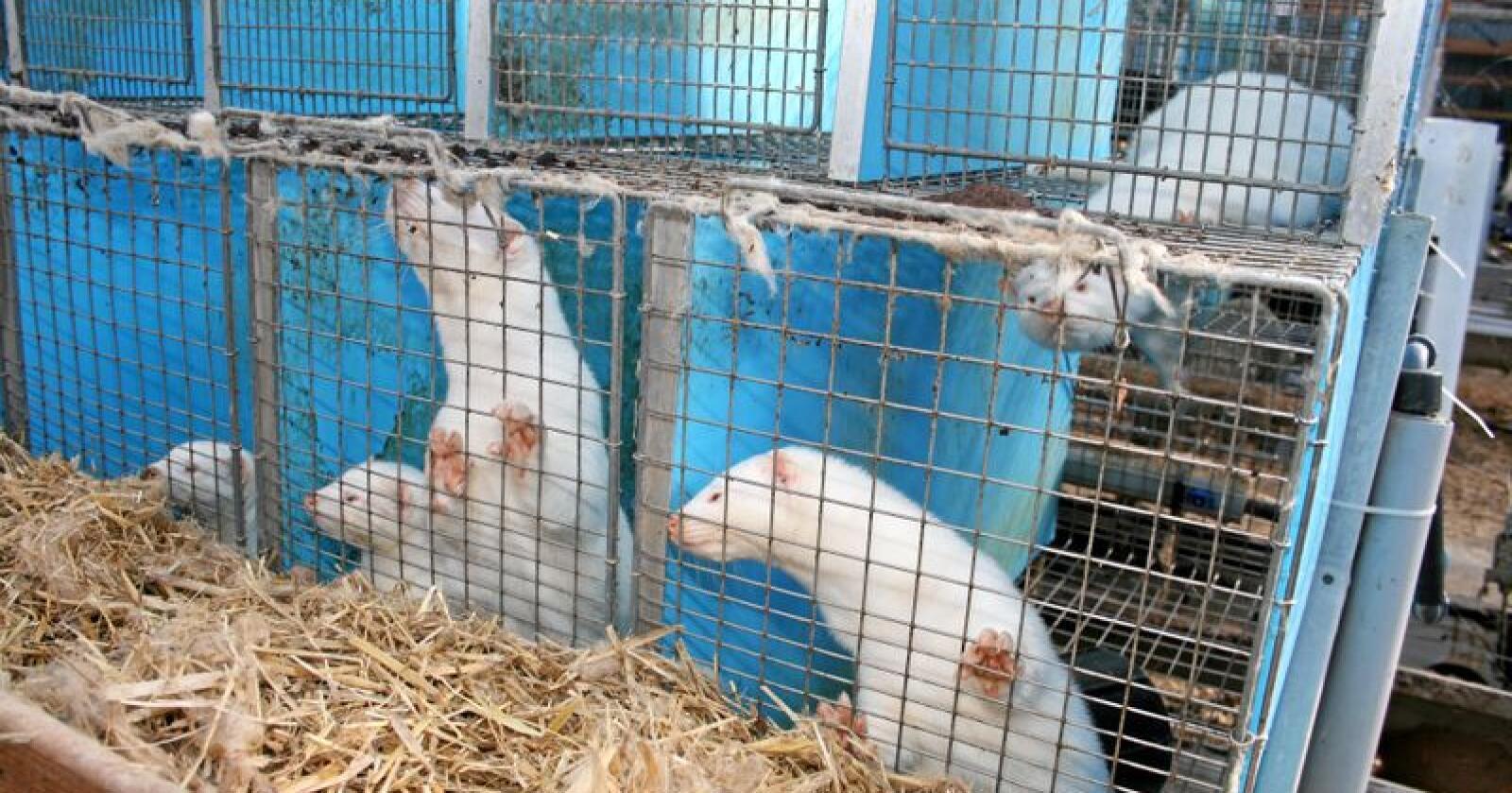 Susanne Horpestad har skrevet et åpent brev til landbruksministeren om kompensasjonsordninga til pelsdyrbønder. Foto: Bjarne Bekkeheien Aase