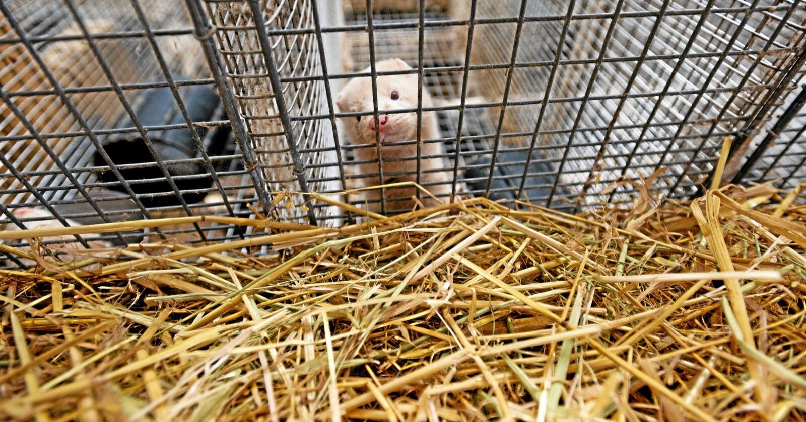Kompensasjon: Frp sikra betre kompensasjon til pelsnæringa etter ny avtale med regjeringa. Foto: Håvard Zeiner