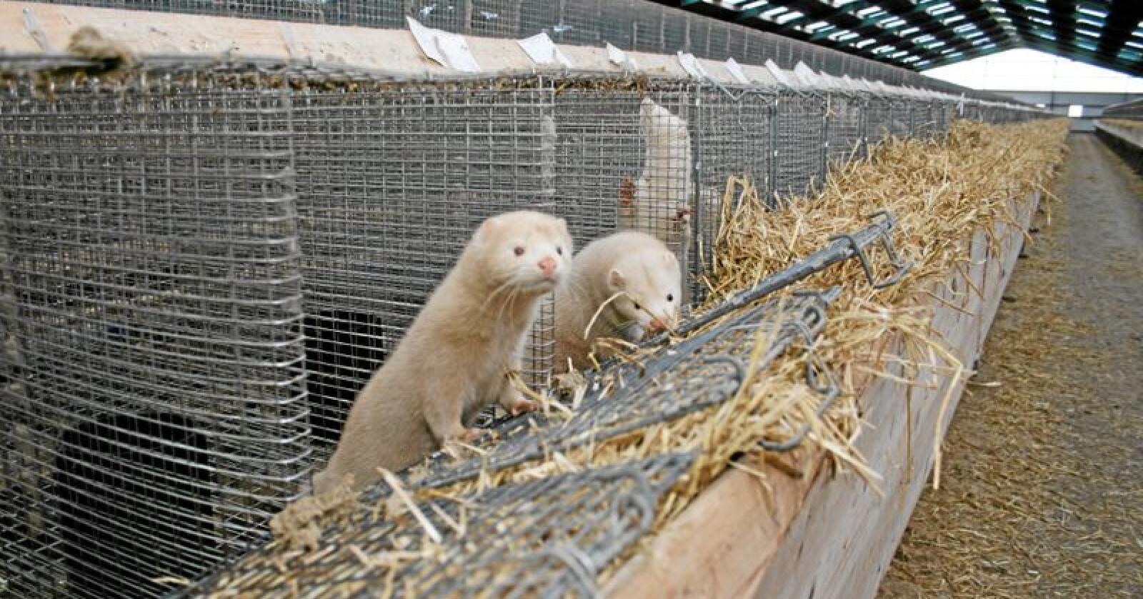 Erstatning: Å ikke erstatte pelsdyrbøndene fullt ut er i strid med Grunnloven, mener innsenderen. Foto: Bjarne Bekkeheien Aase