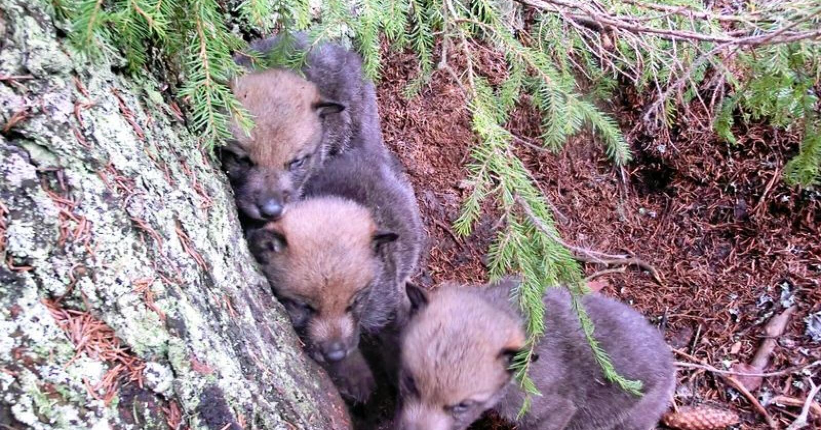 Bildet viser ulvevalper i Slettåsreviret fra noen år tilbake. Foto: Statens naturoppsyn