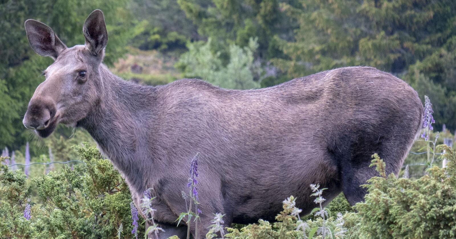 Variert kost er viktig også for elgen, viser forsking. Foto: Paul Kleiven / NTB scanpix / NPK