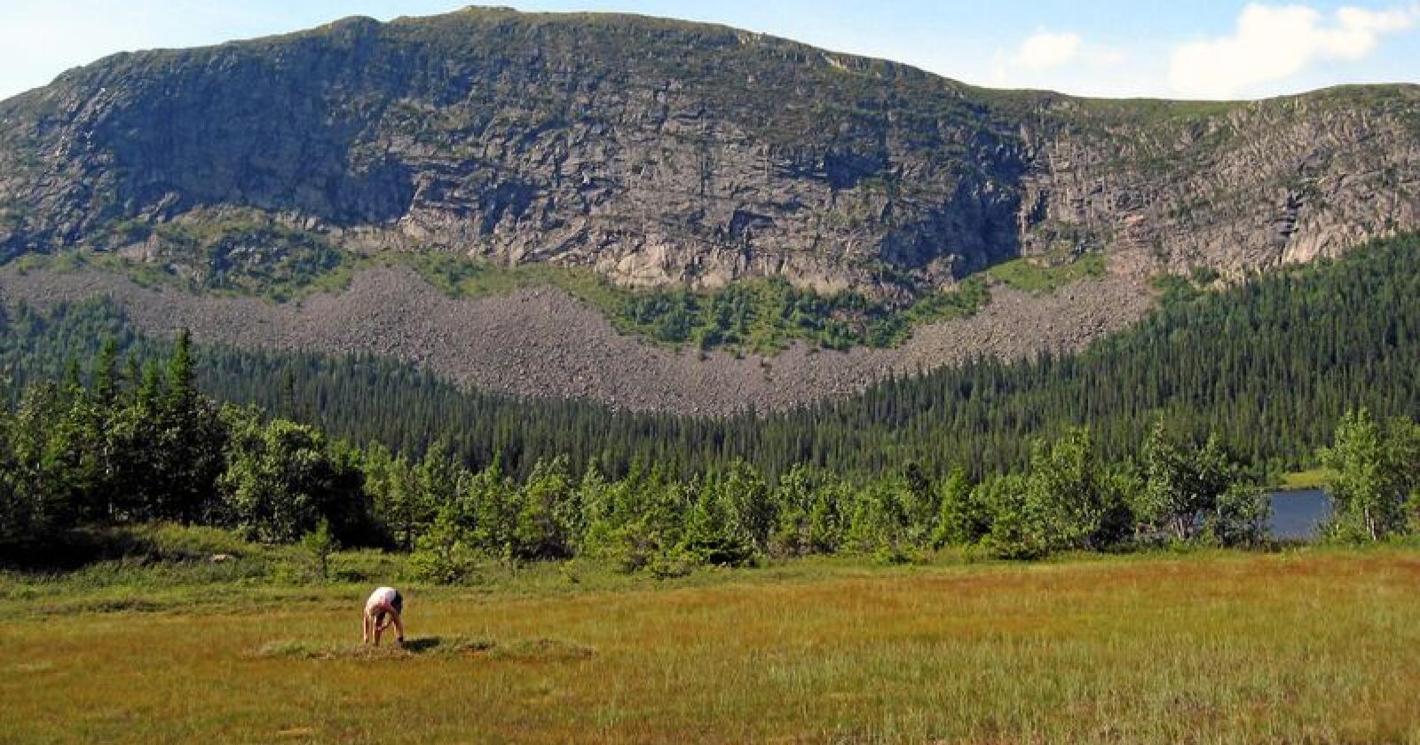 Lagring: Det er beregnet at norske myrer lagrer karbon tilsvarende minst 3500 millioner tonn CO2-ekvivalenter, skriver Ola Elvestuen. Foto: Lise Åserud / NTB scanpix