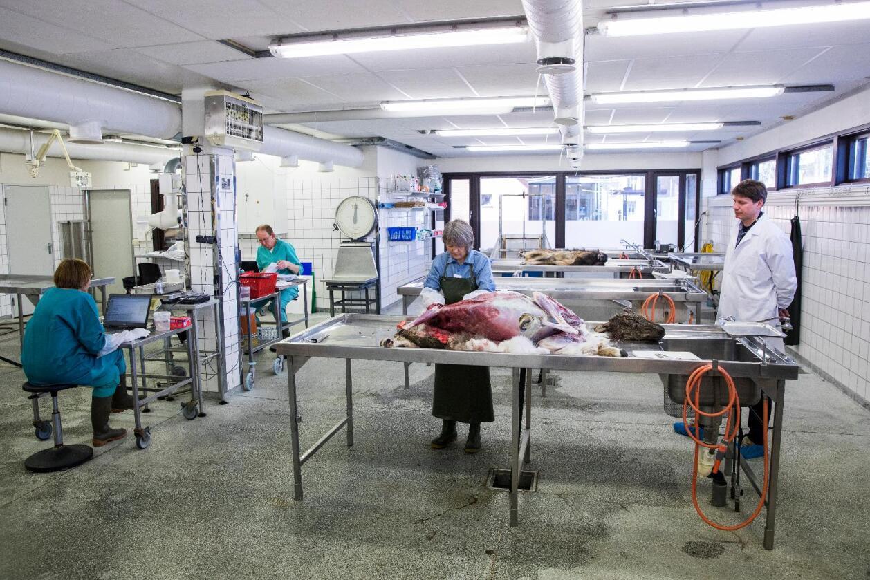 Undersøkelser av villrein fra Nordfjella på Veterinærinstituttet i Oslo. Foto: Tore Meek / NTB scanpix