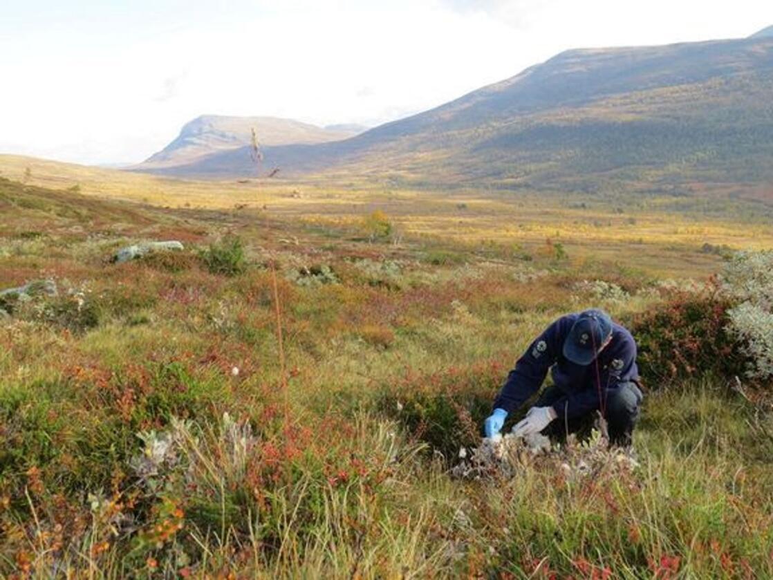 Statens Naturoppsyn (SNO) gjennomfører skadedokumentasjon gjennom beitesesongen. Foto: SNO/Miljødirektoratet