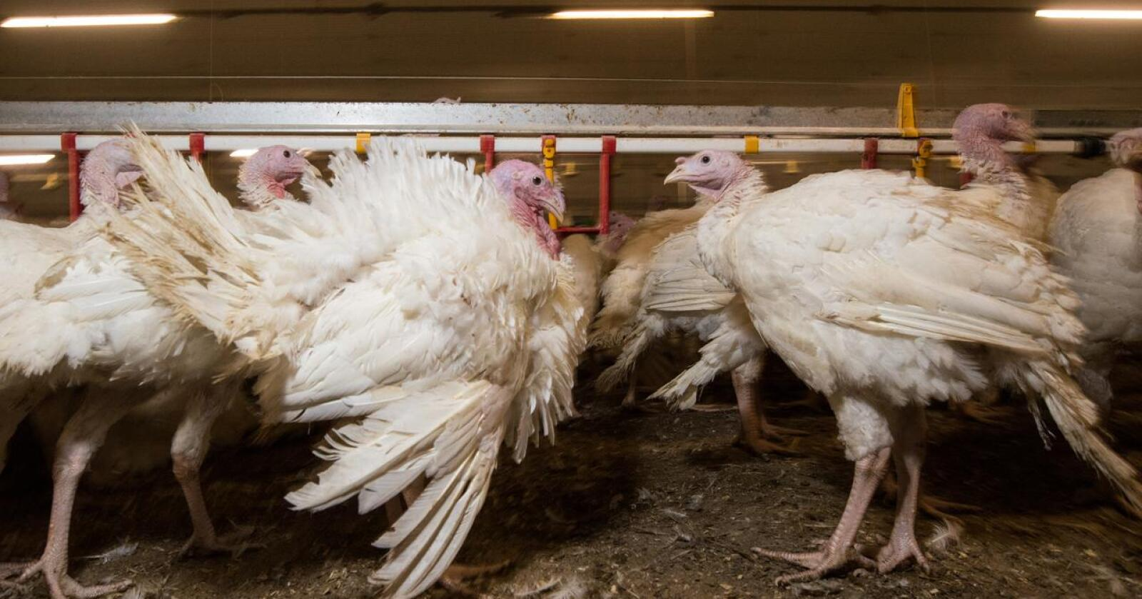 I løpet av ei veke er det avliva 40.000 kalkunar i Danmark, på grunn av fugleinfluensa. Foto: Vidar Sandnes