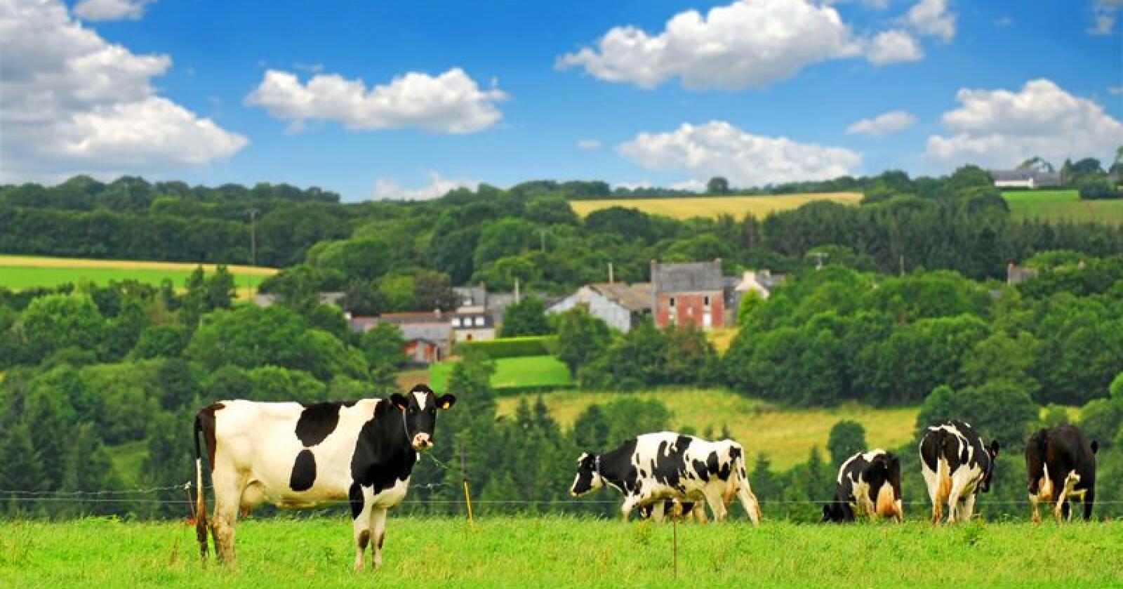 Kyr på beite i Bretagne i Frankrike. Illustrasjonsfoto: Elena Elisseeva / Mostphotos