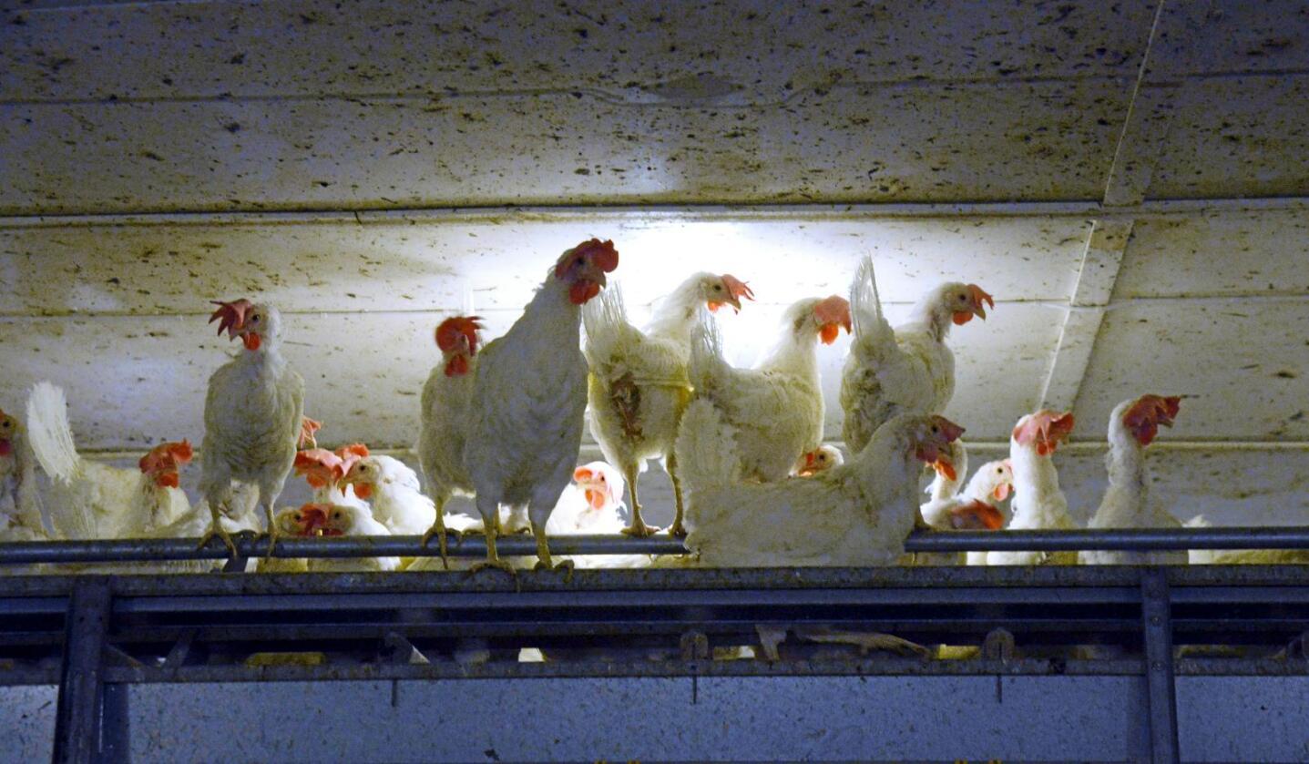 Fri og frank: Over halvparten av norske eggbønder dreiv i 2015 med frittgåande høner. Men det er framleis eit spørsmål om det totalt gir betre dyrevelferd enn for høner i miljøinnreia bur, skriv Hilde Lysengen Havro. Foto: Mariann Tvete
