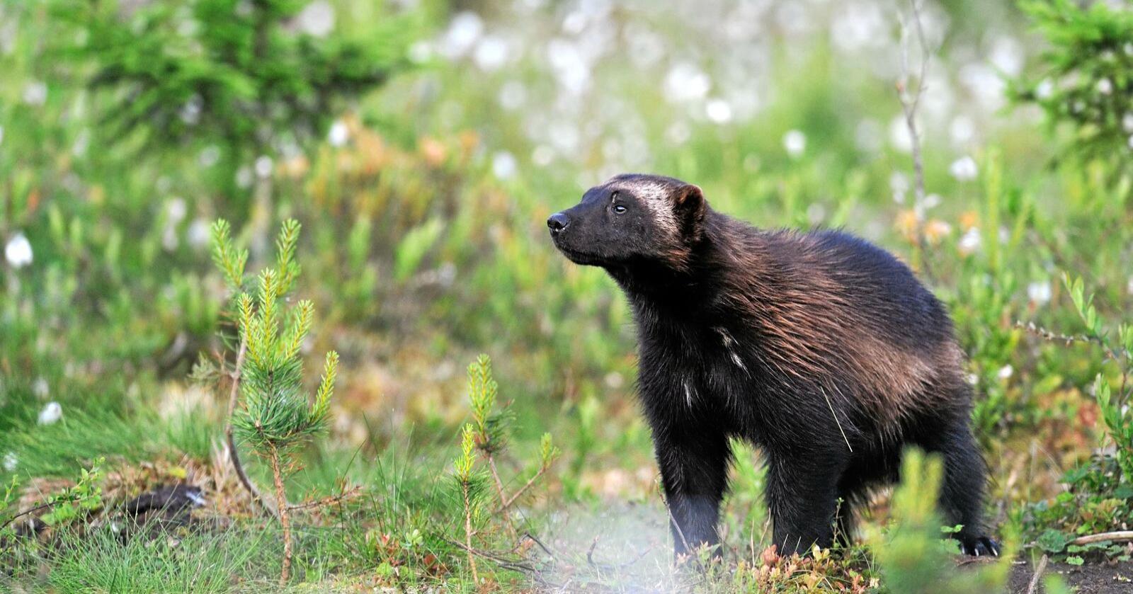 Jerven er det dyret som tok flest beitedyr i fjor. Foto: Erik Mandre / Mostphotos