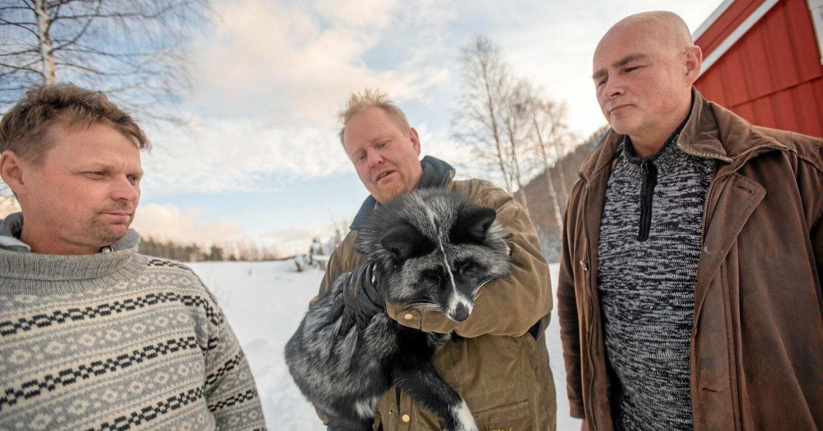 Uforståelig: Jan Grønningen (til venstre) leder Høyres landbrukspolitisk utvalg i Trøndelag. Han sier det er uforståelig at reveoppdretterne ikke skal få erstatning på lik linje med de som har mink. Her står han sammen med Lars Ole Bjørnbet (med en sølvrev i hendene) og Bjørnar Berg. Foto: Håvard Zeiner