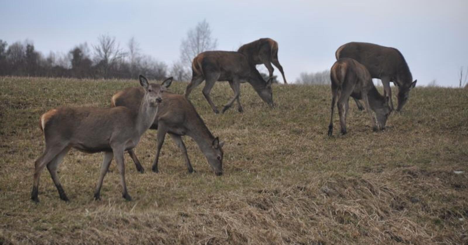 Flere rådyr, elg, hjort og villrein klarte seg i trafikken i jaktåret 2018/19 enn sist jaktår. Her sees hjortedyr betende på eng i Møre og Romsdal. Foto: Arnar Lyche/Møre og Romsdal Bondelag