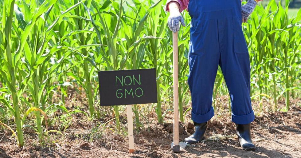 Forbud: Norge har et strengt regelverk for innføring og dyrking av GMO-er. Det hindrer innovasjon og kan ikke være til fordel for landbruket. Foto: Mihajlo Maricic / Mostphotos