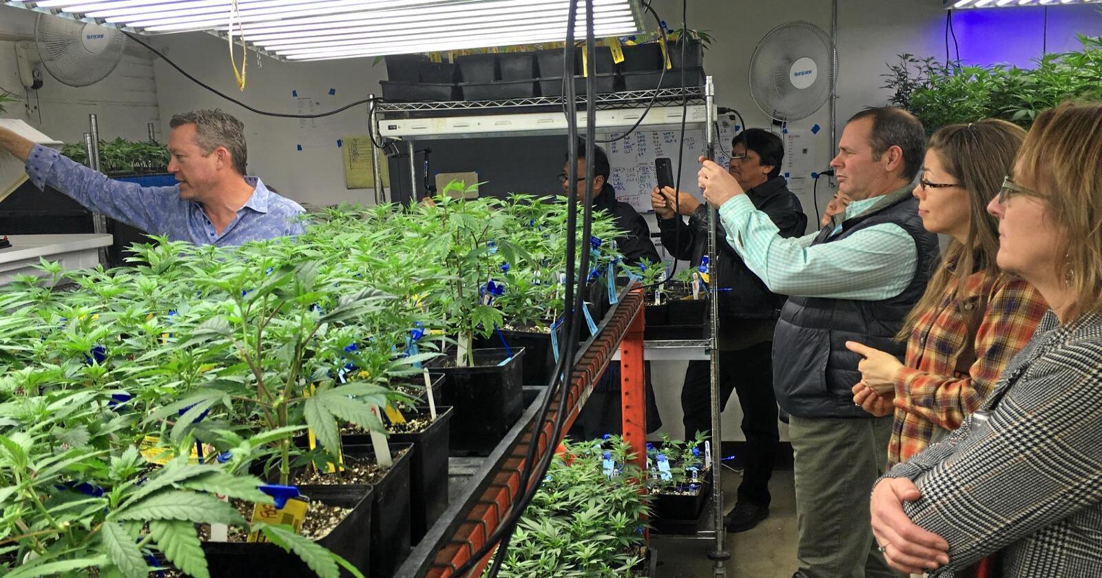 Lærer: Stater i USA som vurderer å legalisere marihuana fikk opplæring avcannabisdyrker Tim Cullen i Denver i Colorado sist forrige uke. Foto: TT / NTB scanpix