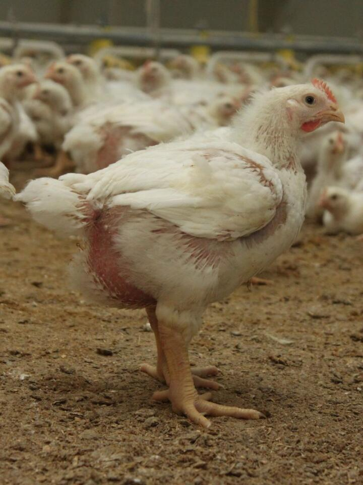 For seks år siden satte fire kyllingprodusenter ved Mjøsa seg ned og la en plan for et produkt de kalte Mjøskylling. Nå har de kjørt gjennom seks innsett med over 90 prosent norsk fôr.
