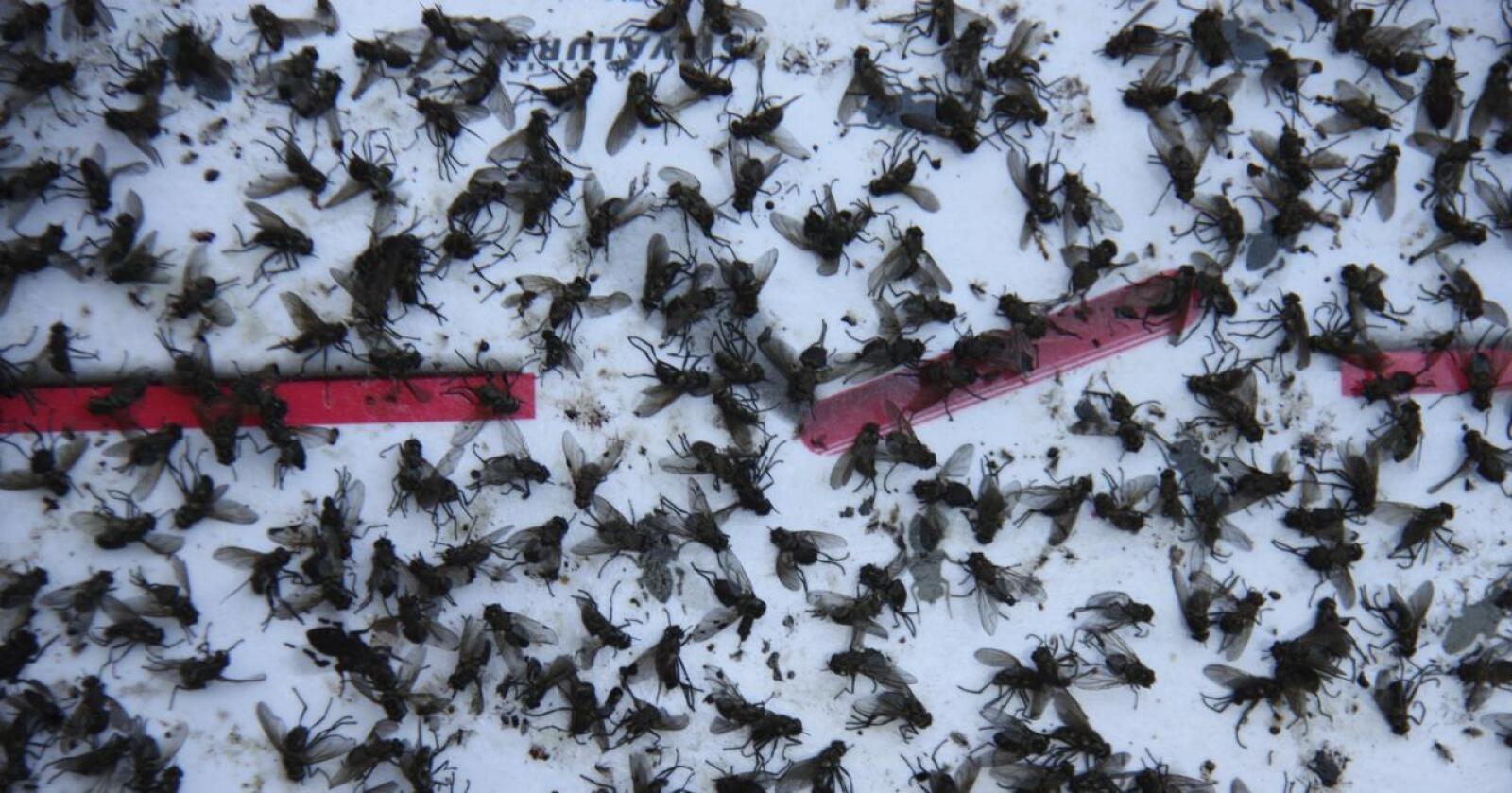 EKSPLOSJON: 60 fluer i fjøset i mai kan bli mange, mange milliarder i løpet av sommeren. Foto: Traktorbygda