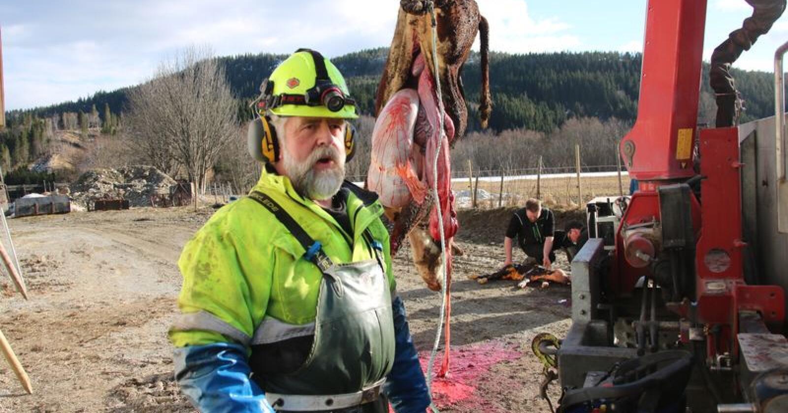 Erfaren venn i nøden: Nødslakter Stein Åge Vollan har jobbet i bransjen i 42 år. Han har travle dager i kalvingssesongen for ammekyr. Foto: Camilla Mellemstrand.