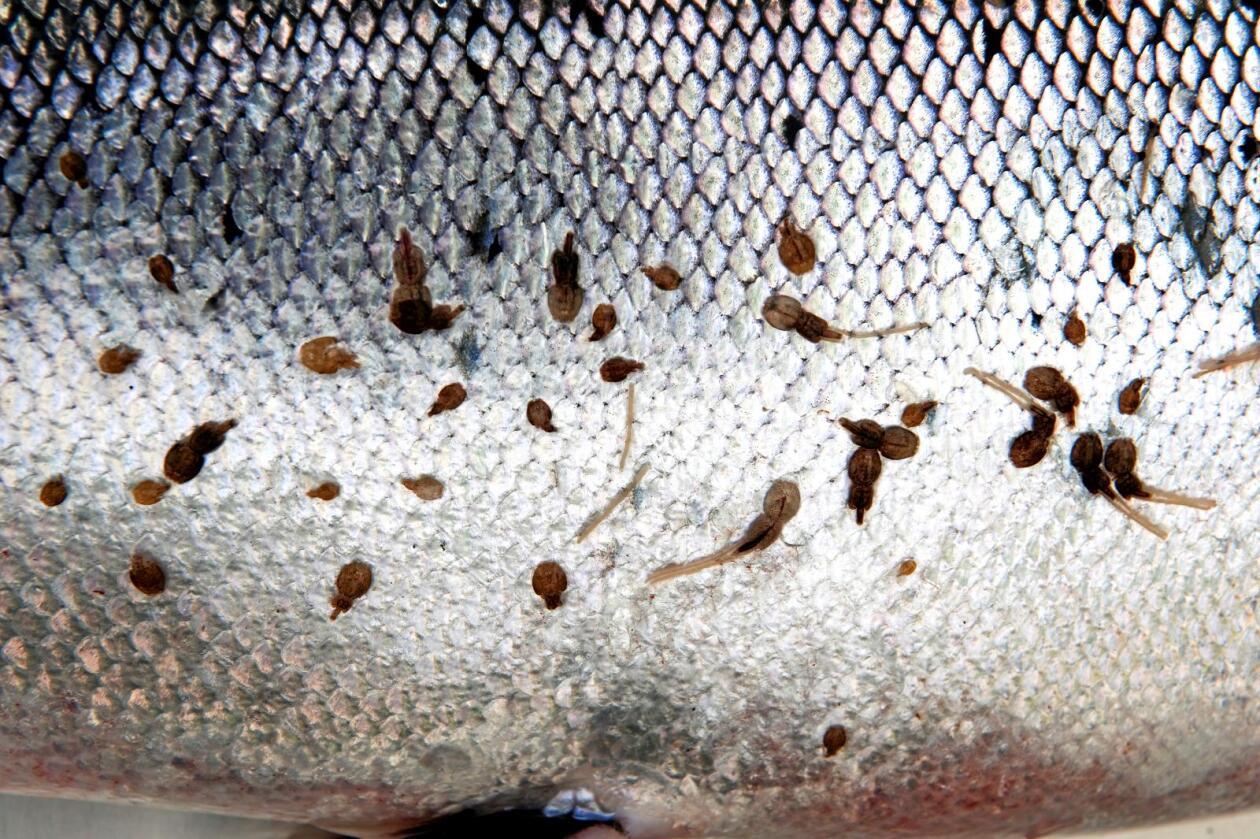 Varmt: Varmt vann kan få lakselusa til å slippe, men det ser også ut som om flyttinga gjør at laksen dør. Foto:NTB scanpix