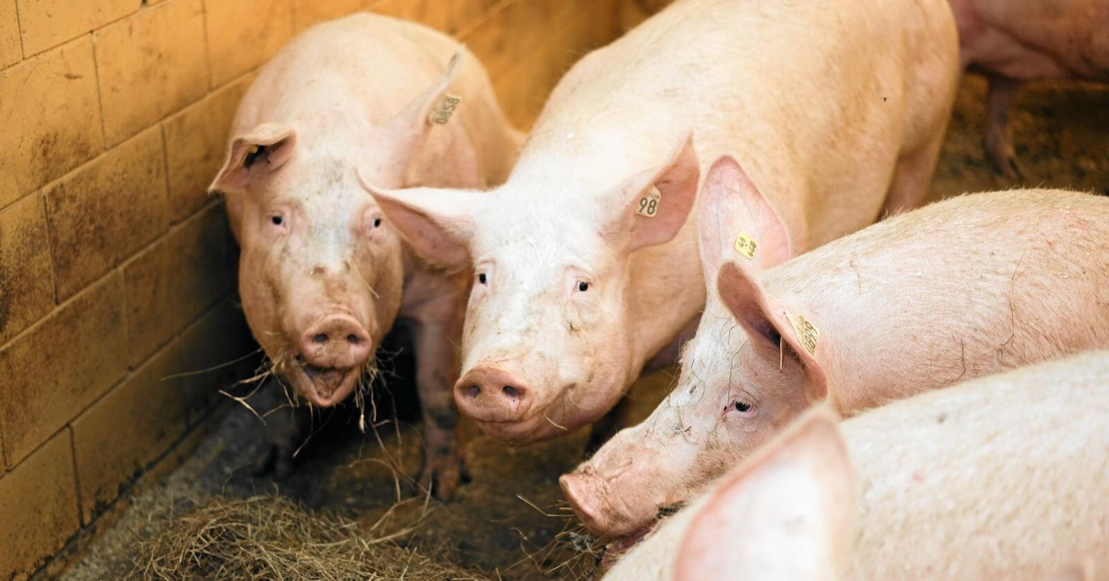 Glade griser: Det blir brukt lite antibiotika i norsk matproduksjon. Foto: Benjamin Hernes Vogl