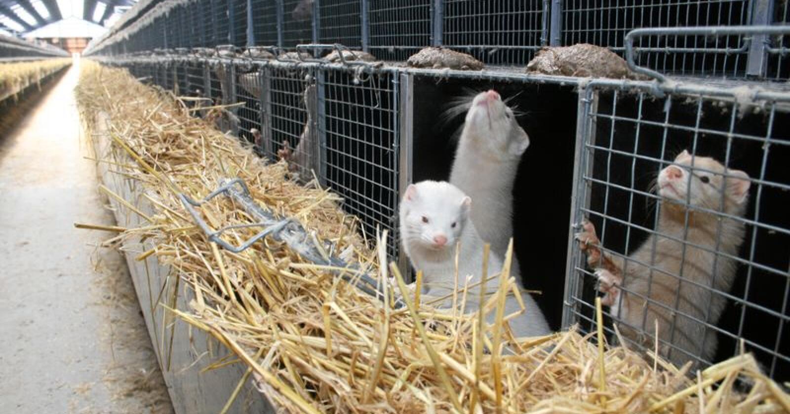 Loven om forbud mot pelsdyr ble vedtatt natt til fredag i Stortinget. Foto: Bjarne Bekkeheien Aase