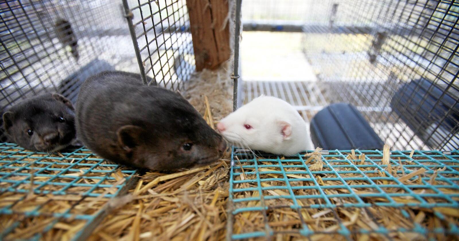 Ifølge Mattilsynet er det ingen andre dyrearter enn mink som blir ansett som smittsom til mennesker. Foto: Alf Ove Hansen / Scanpix