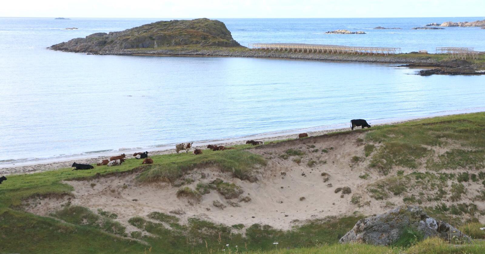 Staten vil ikke få kjøpt opp planlagt mengde i Rogaland, Oppland, Trøndelag, Nordland og Finnmark. Bildet er fra Bø i Vesterålen. (Foto: Liv-Karin Edvardsen)