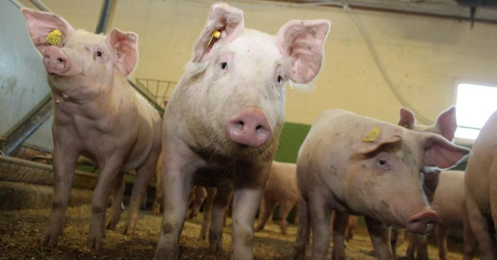 Norsk griseavl og griseproduksjon er i stor framgang. Foto: Øystein Heggdal