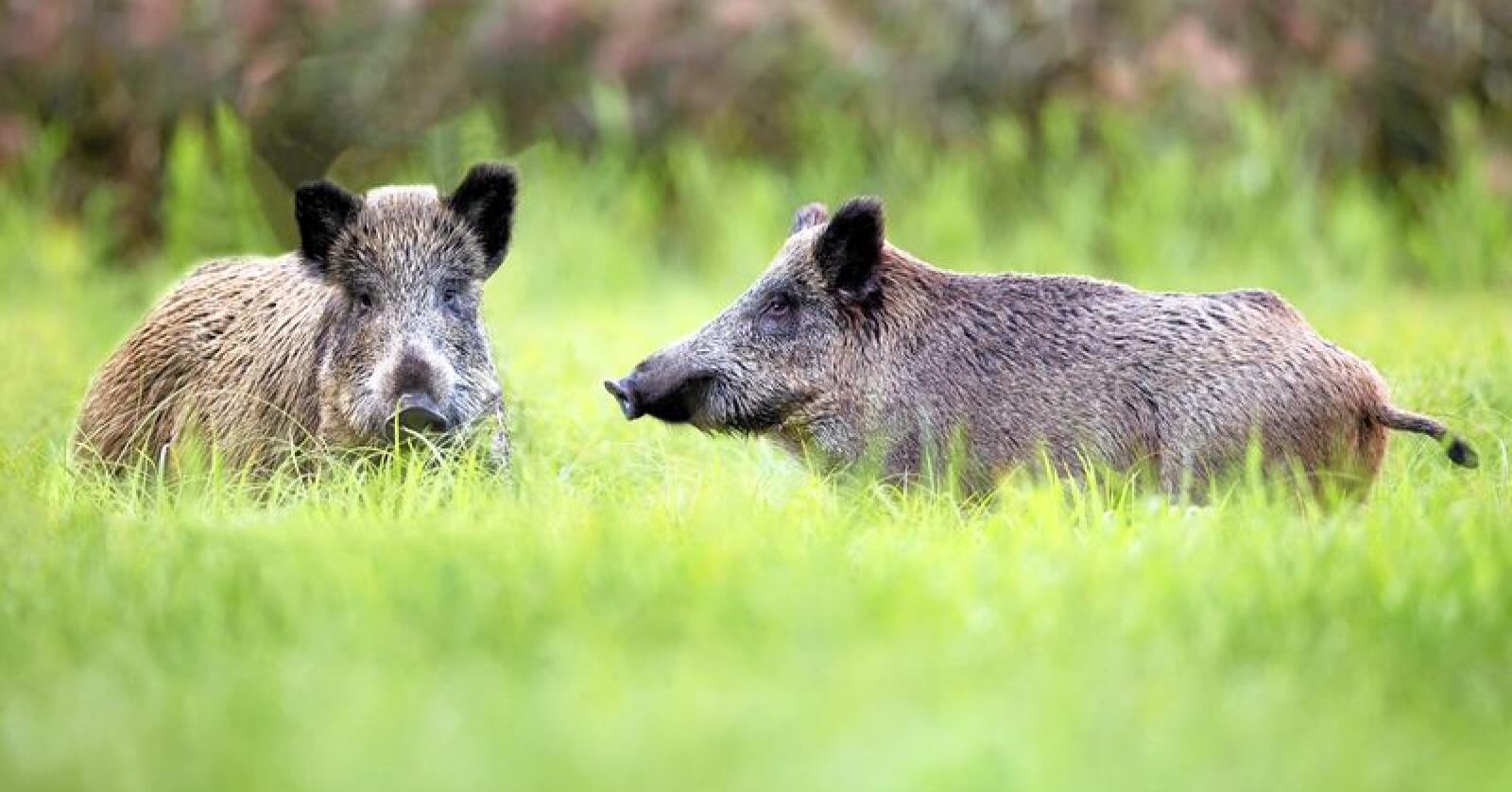 UØNSKET: Villsvin er definert som en fremmed art i Norge, og utgjør en trussel for både dyre- og folkehelsa, som bærere av smittsomme sykdommer. Illustrasjonsfoto: Mostphotos
