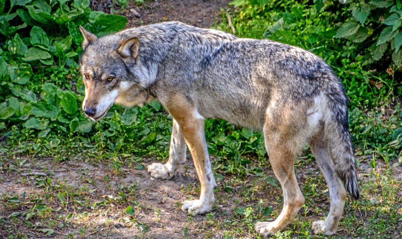 Når det gjelder ulveforvaltningen kan en ikke bruke uttrykket: «Hensikten helliger midlet.», skriver Arne Warberg. Foto: Mostphotos