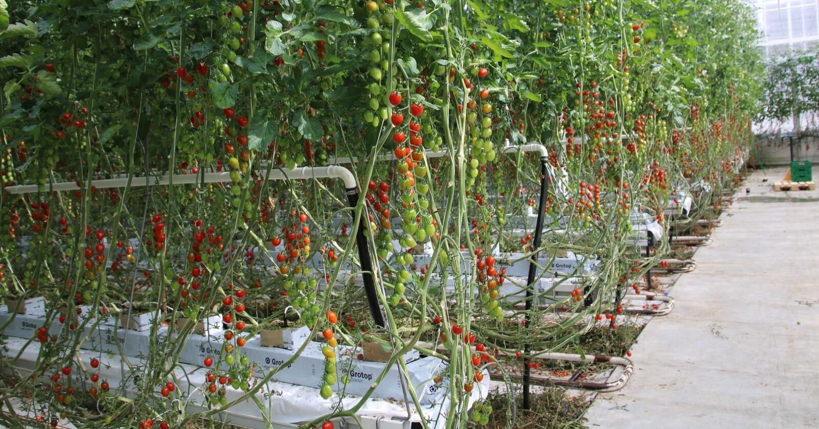 Kombinasjonen UV-ys og nyttedyr ga gode resultater. Metoden ble testet i jordbærproduksjon i tunnel, samt agurk-, tomat- og urteproduksjon i veksthus. Her sees småtomater i veksthus i Skavland Gartneri, Finnøy. Foto: Lars Olav Haug