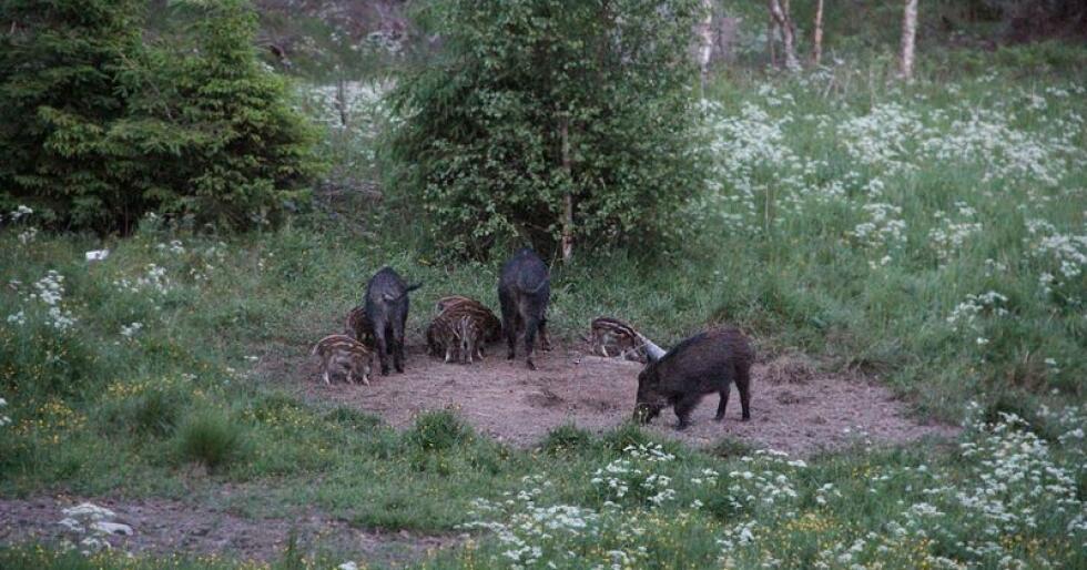 Villsvinbestanden i Sverige har økt voldsomt de siste årene. Her er det villsin fra den norske siden i Aremark i Østfold. Foto: Ingjerd Sørlie Yri