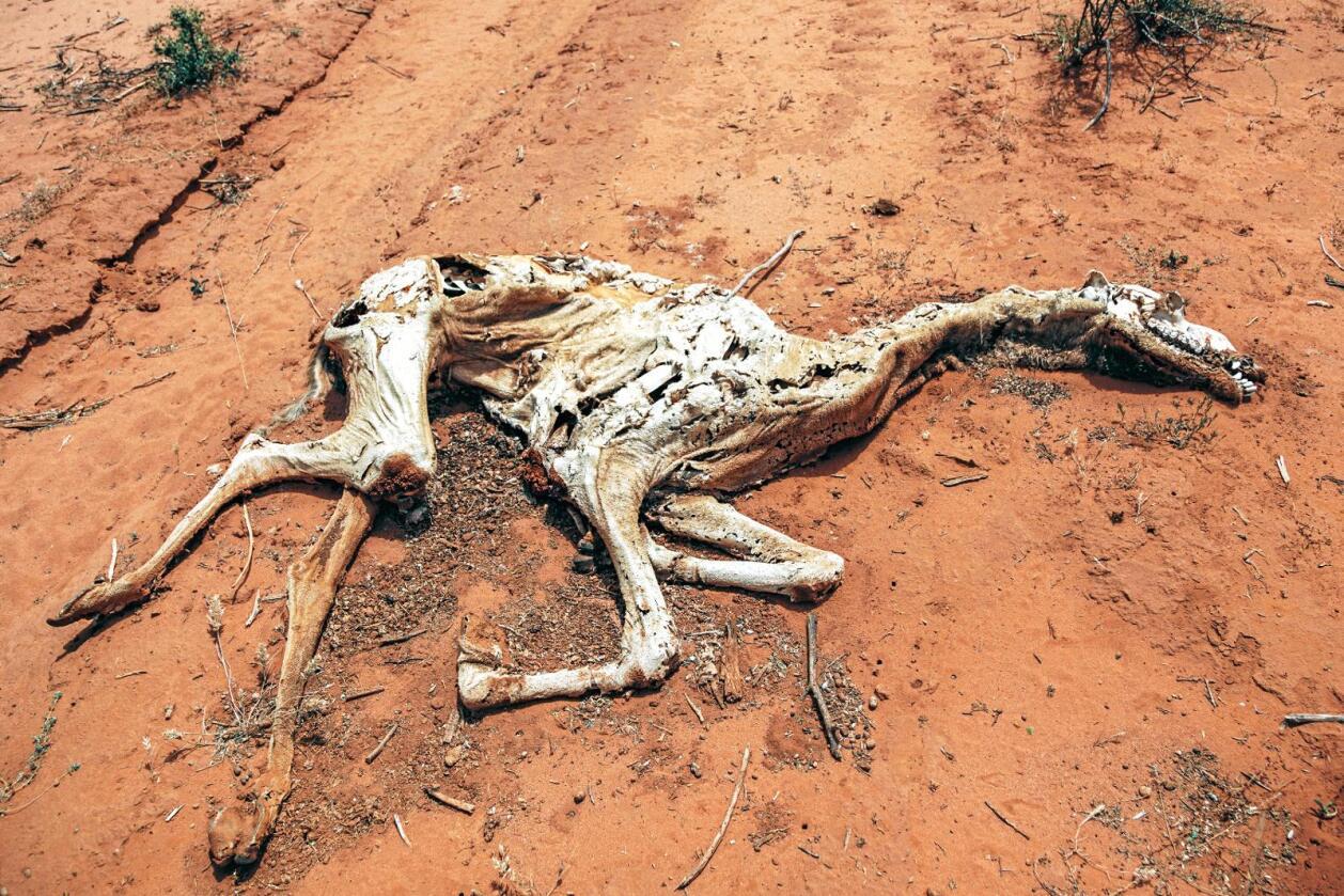 Død kamel: Døde kameler er et vanlig syn i Somalia. Mange familier har mistet alle dyrene sine.   Foto: Kristoffer Nyborg/Utviklingsfondet
