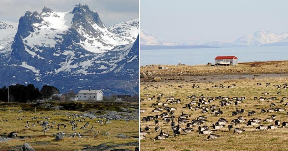Helgeland (t.v.) har vært det tradisjonelle rasteområdet. I løpet av de siste 25 årene har en økende andel hvitkinngjess oppdaget Vesterålen. Foto: Paul Shimmings og Ingunn Tombre