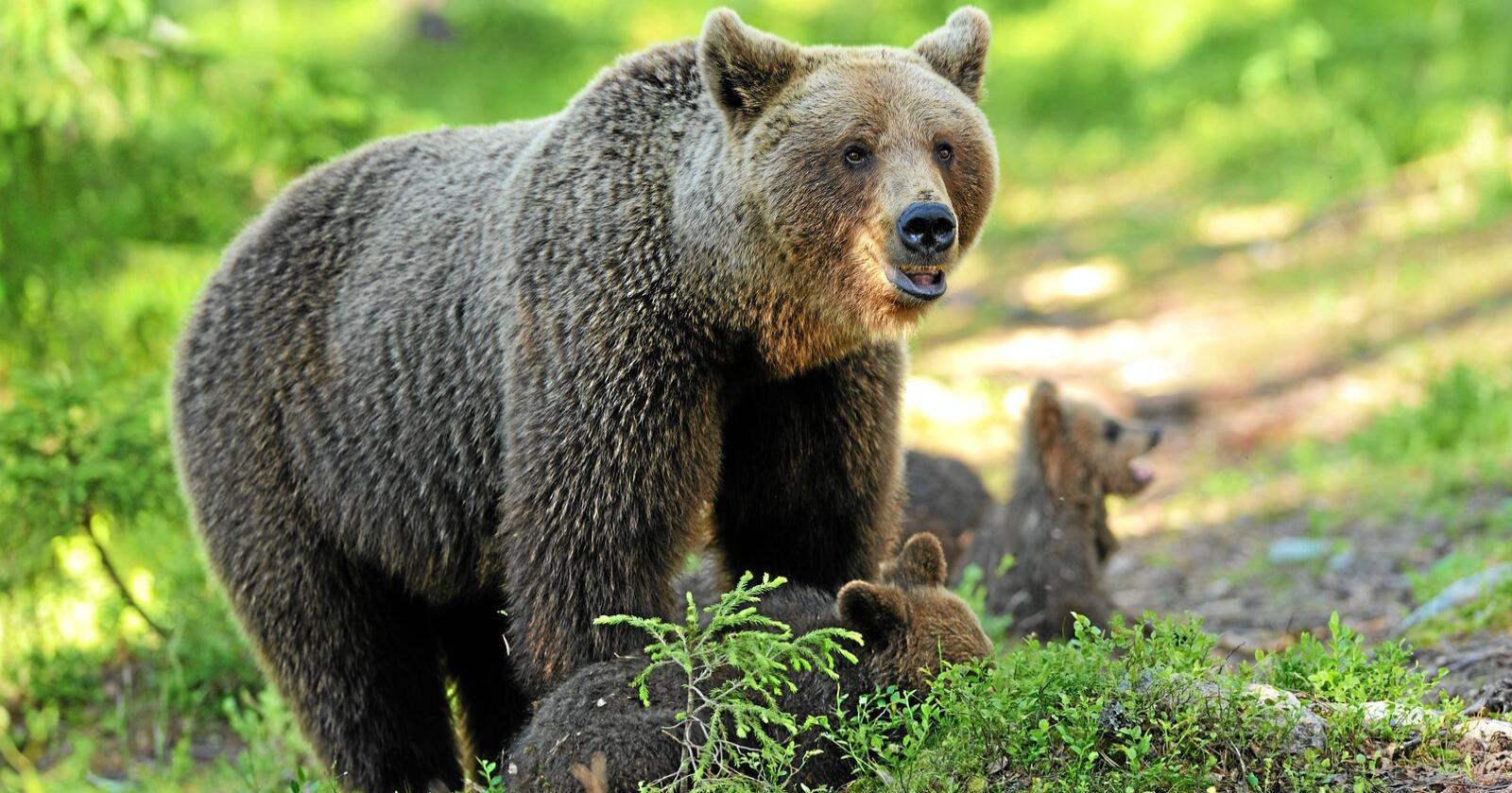 Binne med unger vil være et sjeldnere syn i norske skoger i sommer. Mens tallet på bjører går opp, går andelen binner ned. Foto: Erik Mandre/Mostphotos