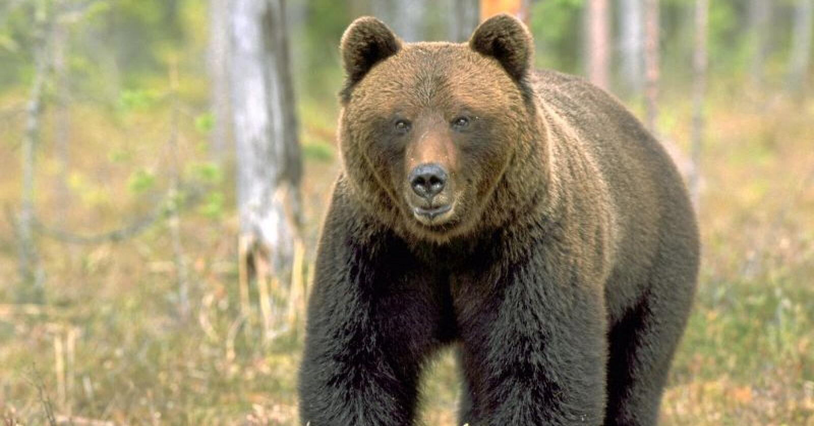 En bjørn angrep en mann i 50-årene. Arkivfoto: Mariann Tvete