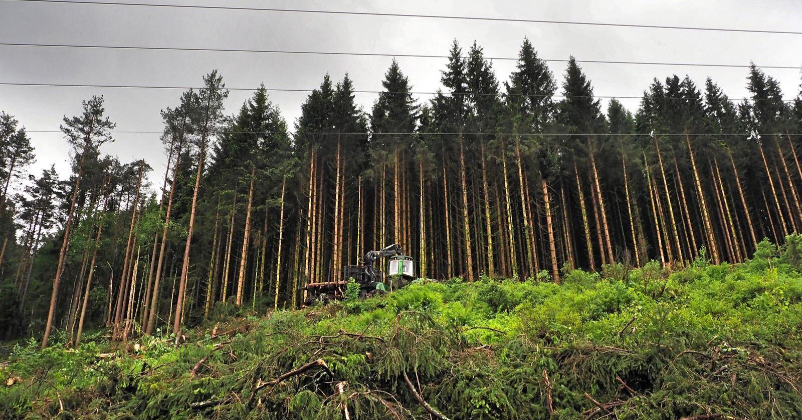 Framskrivinger fra regjeringen viser at CO2-opptaket i skogen vil gå nedover det neste tiåret. Foto: Siri Juell Rasmussen