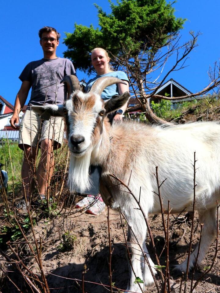 Simon Andersson Støa og Malin Olsen Støa fra Åsnes i Solør leier ut geiter slik at gjengrodde landskap kan bli åpne igjen. Her fra Breidablikk hvor geitene har gresset i fem uker. Foto: Fredrik Holtekjølen