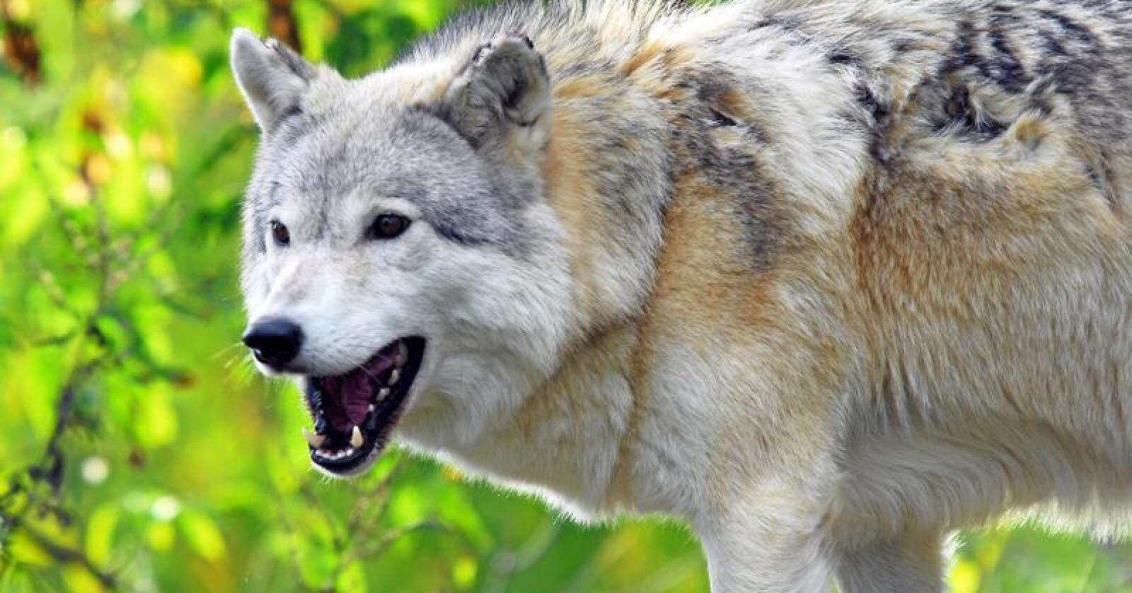 Ulven angrep hunden i det den forsøkte å stikke av. Illustrasjonsfoto: Nialat/Mostphotos