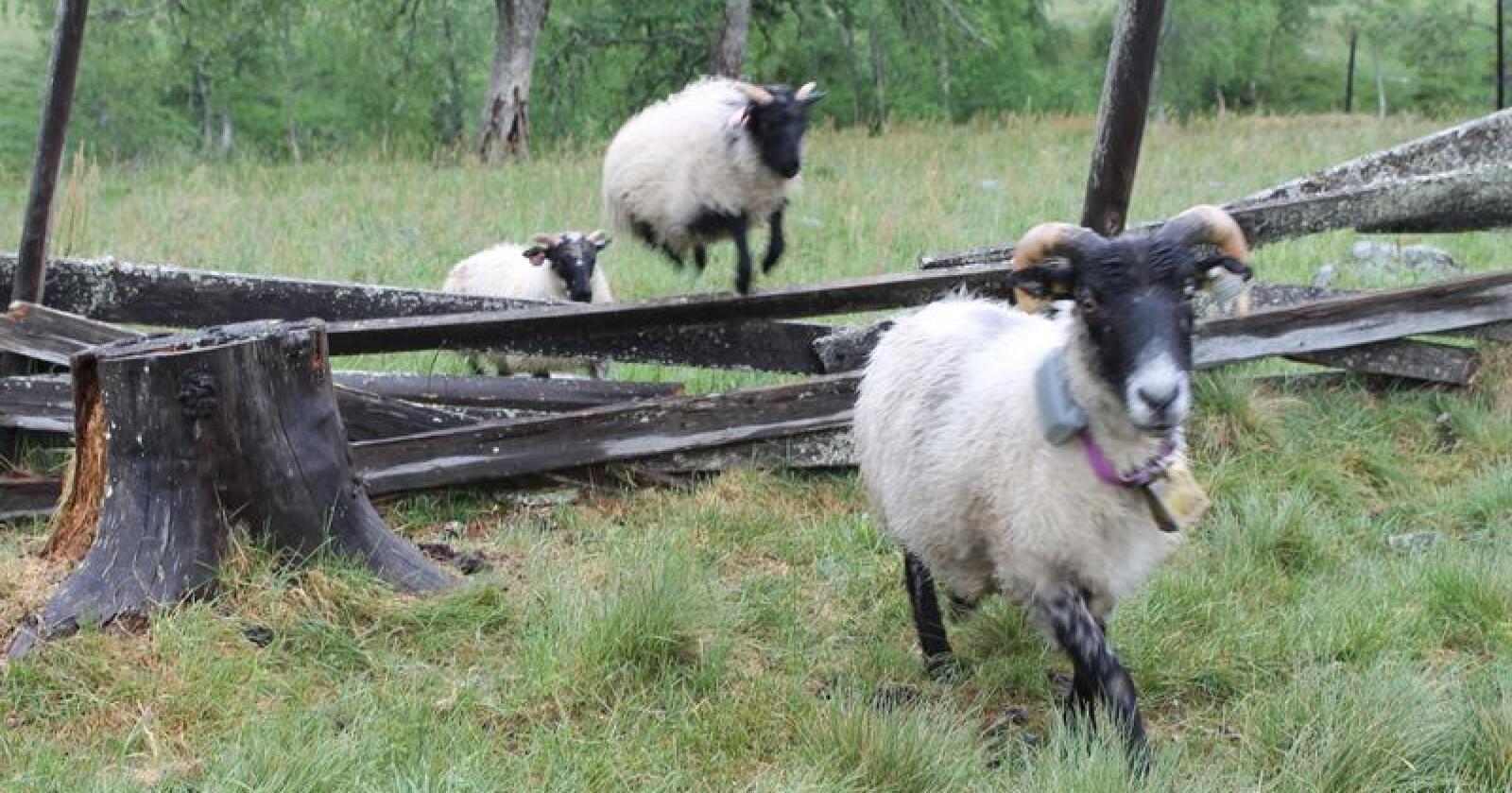 Lengre beitesesong, og kanskje også litt nedbør, kan gjøre en liten sau hoppende glad! Foto: Marit Glærum.