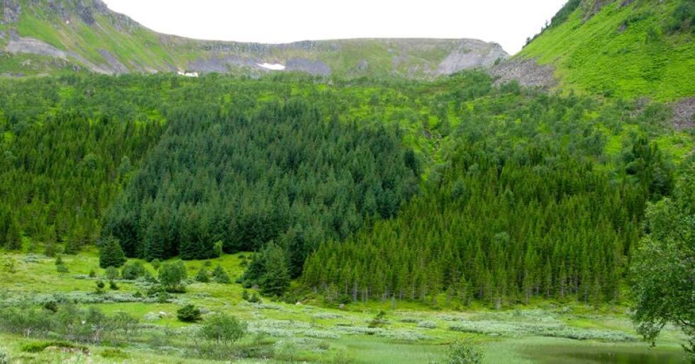 Bildet viser skogreising i Vesterålen, sitka-gran og vanlig gran i plantefelt. (Foto: Arne Steffenrem, Nibio)