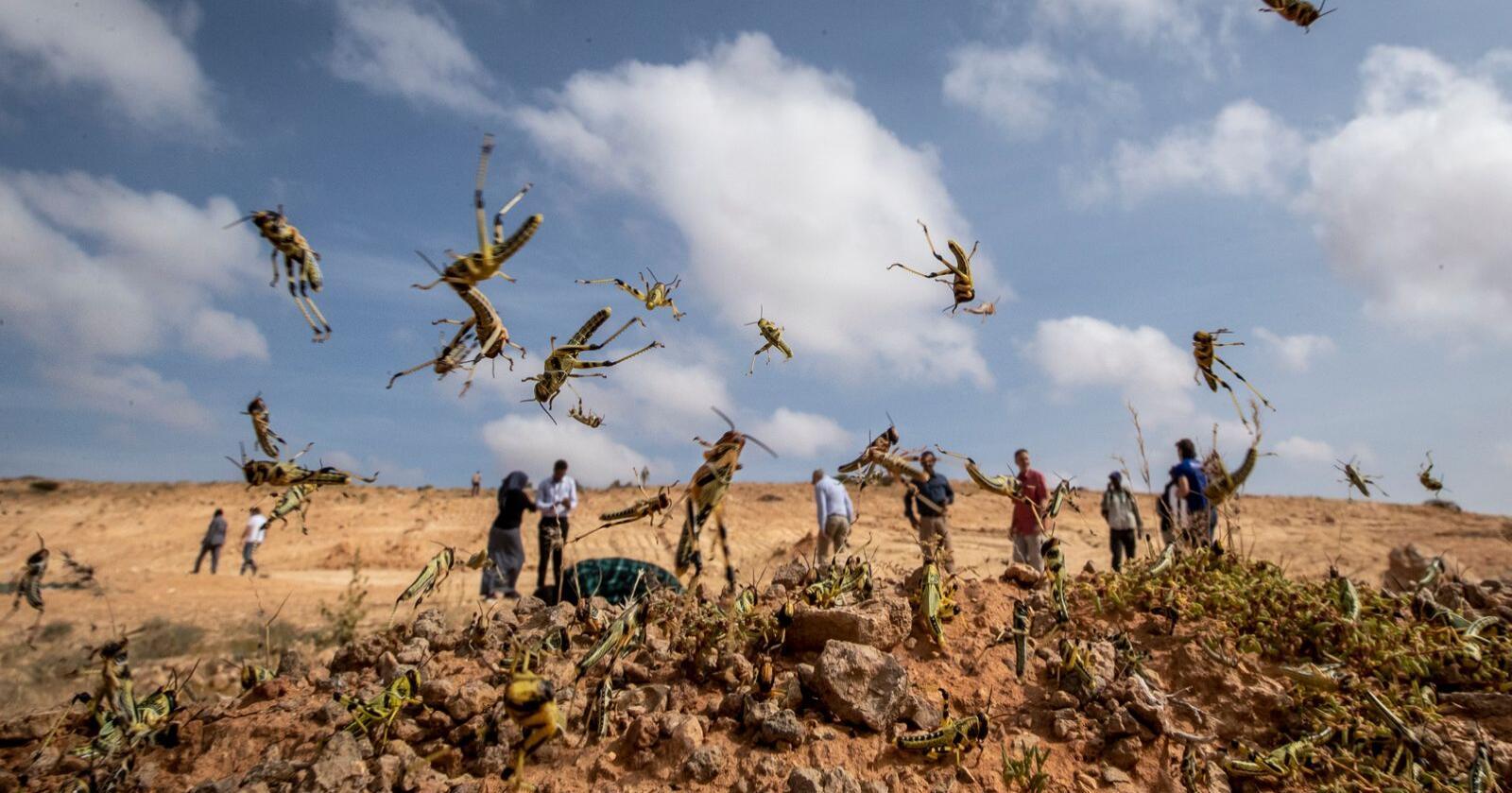 Gresshoppeinvasjonen har blant annet rammet Somalia. Her fra Garowe i Puntland tidligere i februar. Foto: Ben Curtis / AP / NTB scanpix