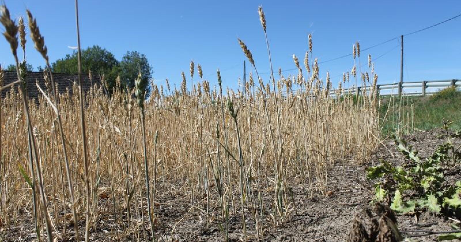 Landbruket kjenner fortsatt på følgene etter fjorårets dårlige avlinger. Landkreditt setter ikke opp renta nå.  Foto: Marit Glærum